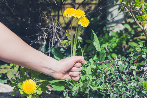 Hand Pulling Weeds Stock Photo - Download Image Now