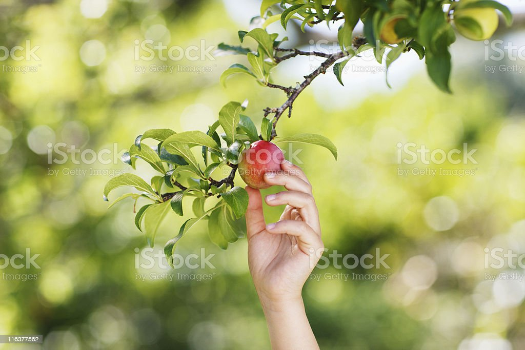 Hand reaching for plum on branch stock photo