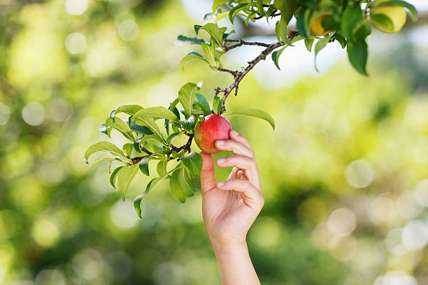 mão atingindo de ameixa na ramificação - picking fruit imagens e fotografias de stock