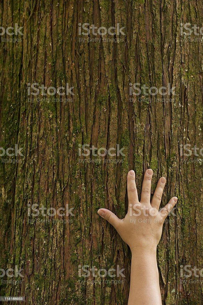 Hand reaching up a cedar tree trunk