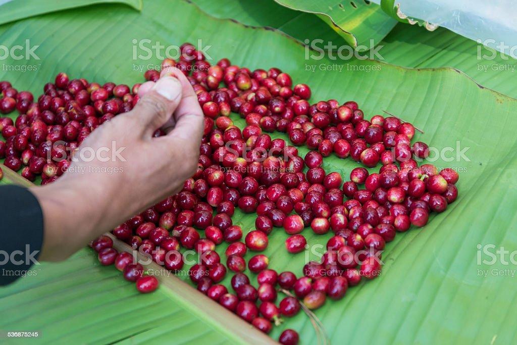 hand selecting coffee bean stock photo