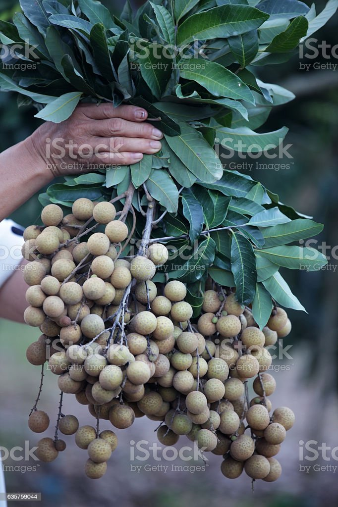 hand showing longan fruit stock photo