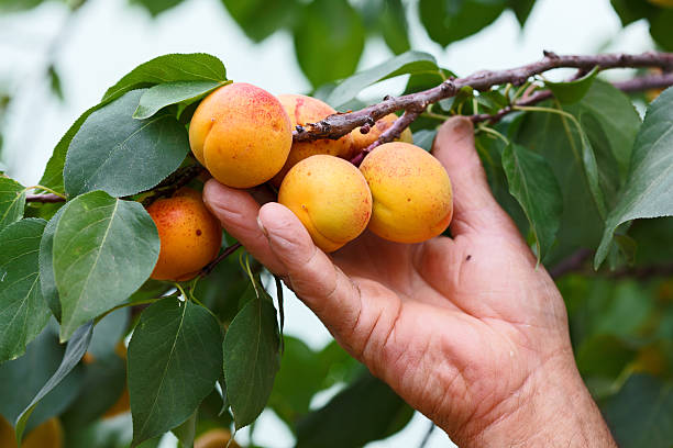 Hand showing peach on tree