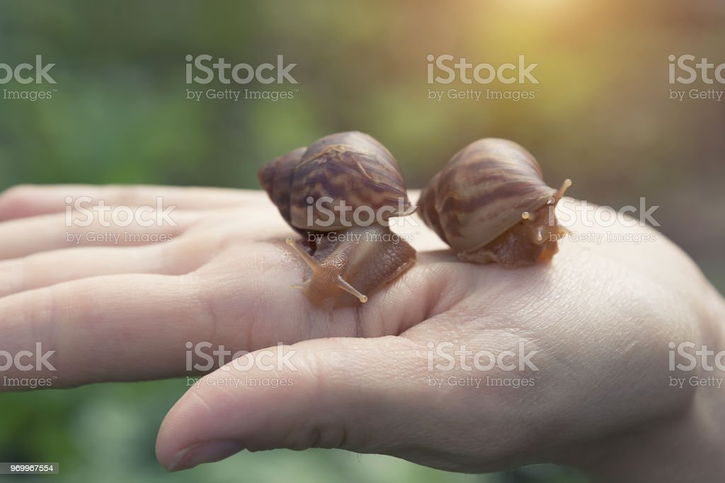 hand snails of the ahatina sit on their hands, small pets