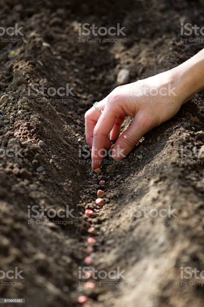 hand sowing seeds stock photo