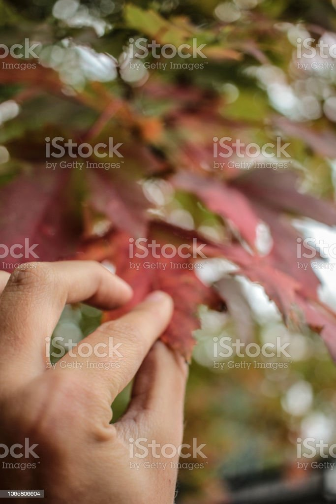 Hand Taking Red Leaf - foto stock