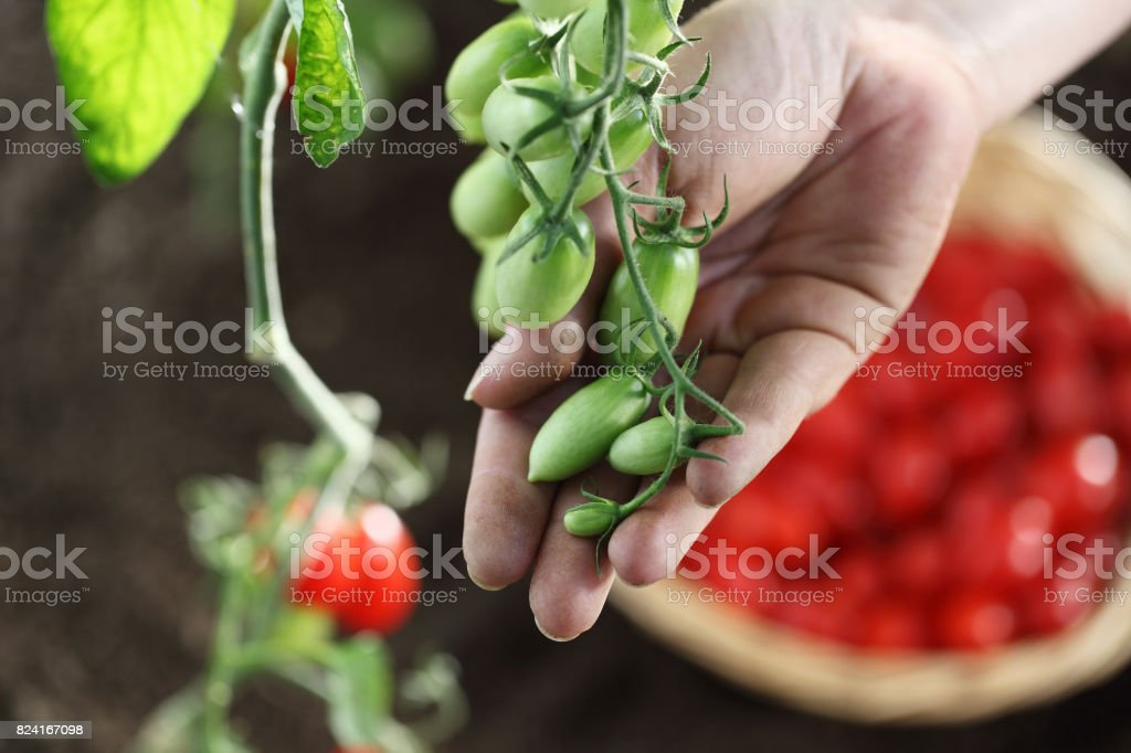 Hand Touch Green Cherry Tomatoes Plant In Vegetable Garden Top View Royalty Free Stock