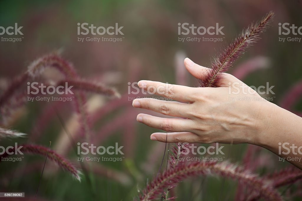 Mano tocar Cañas hierba foto de stock libre de derechos