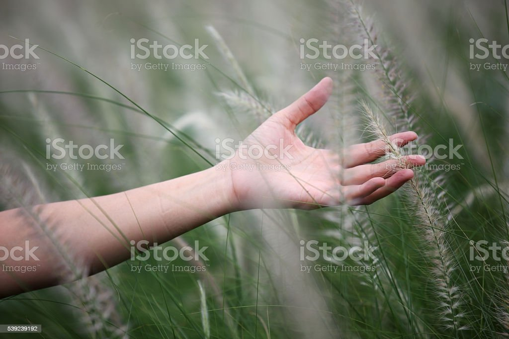 hand touching reeds grass royalty-free stock photo