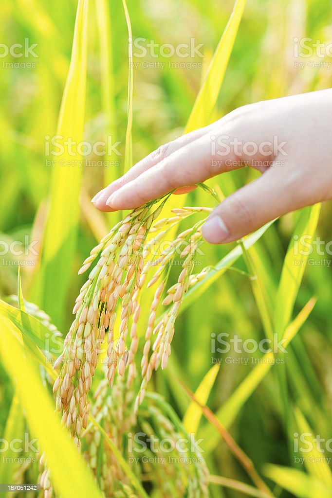 Hand Touching Rice Crops royalty-free stock photo