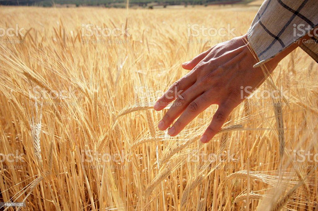 Hand Touching Wheat stock photo