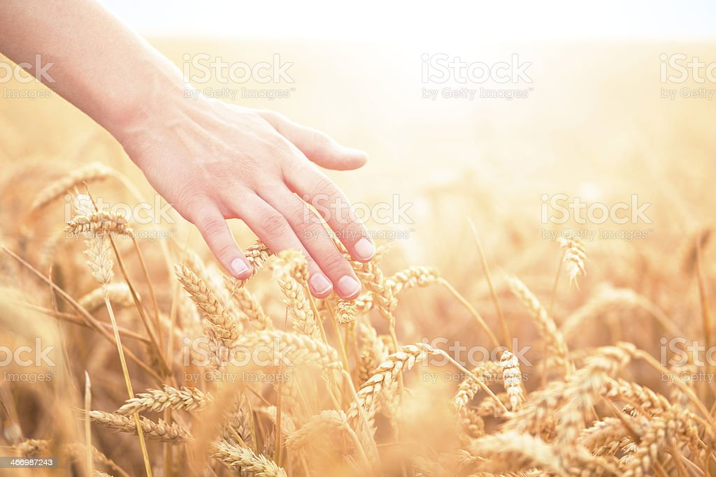 Hand touching wheat plants in a field stock photo
