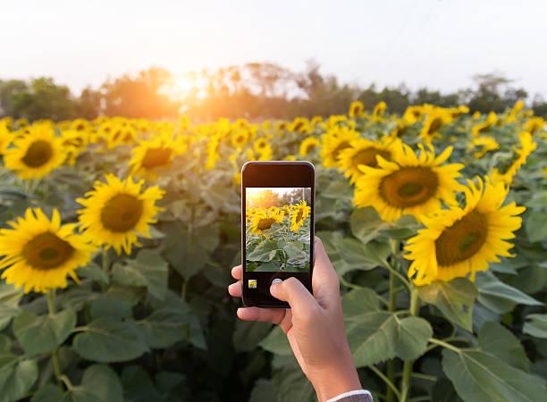 hand mit smartphone nehmen foto schöne sonnenblumen feld - schönen abend bilder stock-fotos und bilder
