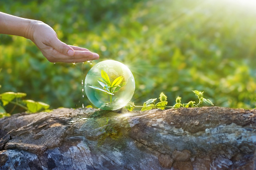 hand watering and protecting globe of young tree resting