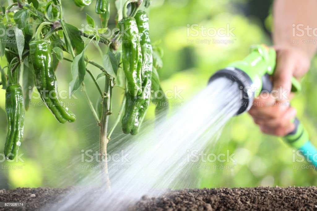 Hand Watering Plants. Green Peppers In Vegetable Garden. Close Up  Royalty Free Stock