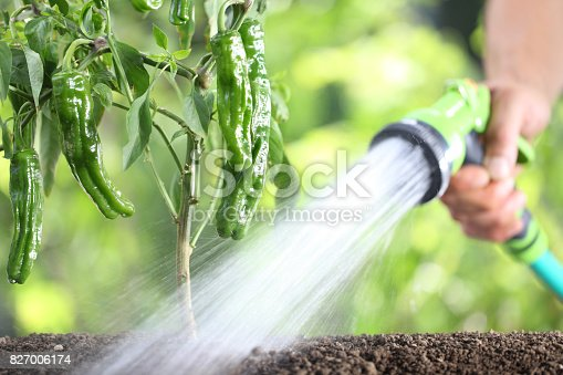 hand watering plants. green peppers in vegetable garden. close up