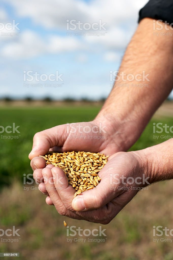 Hand with corn royalty-free stock photo
