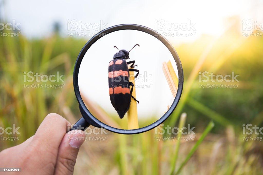 手刈り取らご飯、田園地帯、タイの上に虫眼鏡画面昆虫 ストックフォト