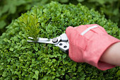 Hand with protective glove and pruning shears cutting a boxwood