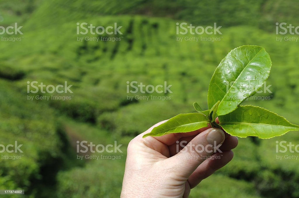 Hand with tea leaf royalty-free stock photo