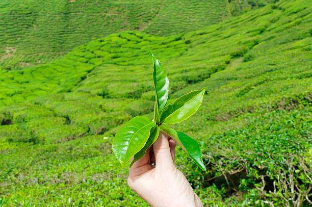 Hand with tea leaf stock photo