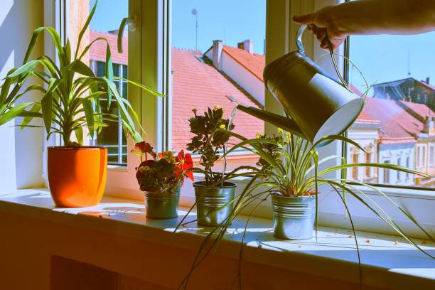 Hand with water can watering indoor plants on windowsill. Home gardening, love of plants indoors. Watering house plants using a watering can. Flowers care. stock photo