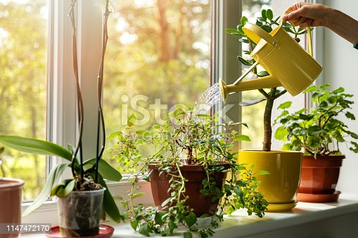 hand with water can watering indoor plants on windowsill