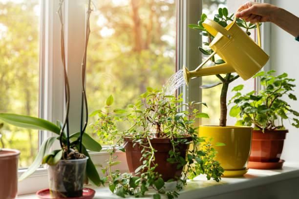 물이 창턱에 실내 식물을 물을 수 있는 손 - 꽃 식물 뉴스 사진 이미지