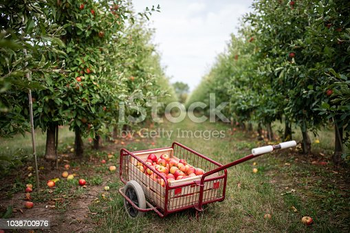 Thuringia, Germany: A handcart full of apples stands for apple harvest in the meadow.