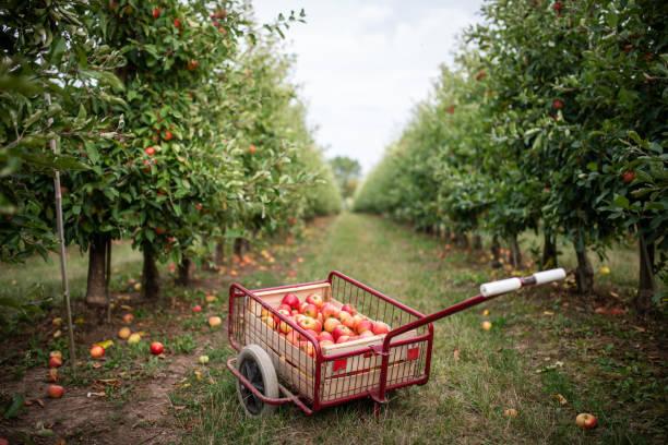 Handwagen voller Äpfel, Thüringen, Deutschland – Foto