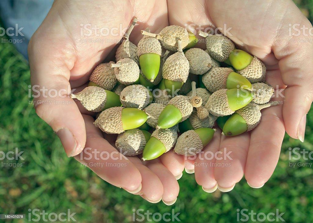 Handful of Acorns royalty-free stock photo