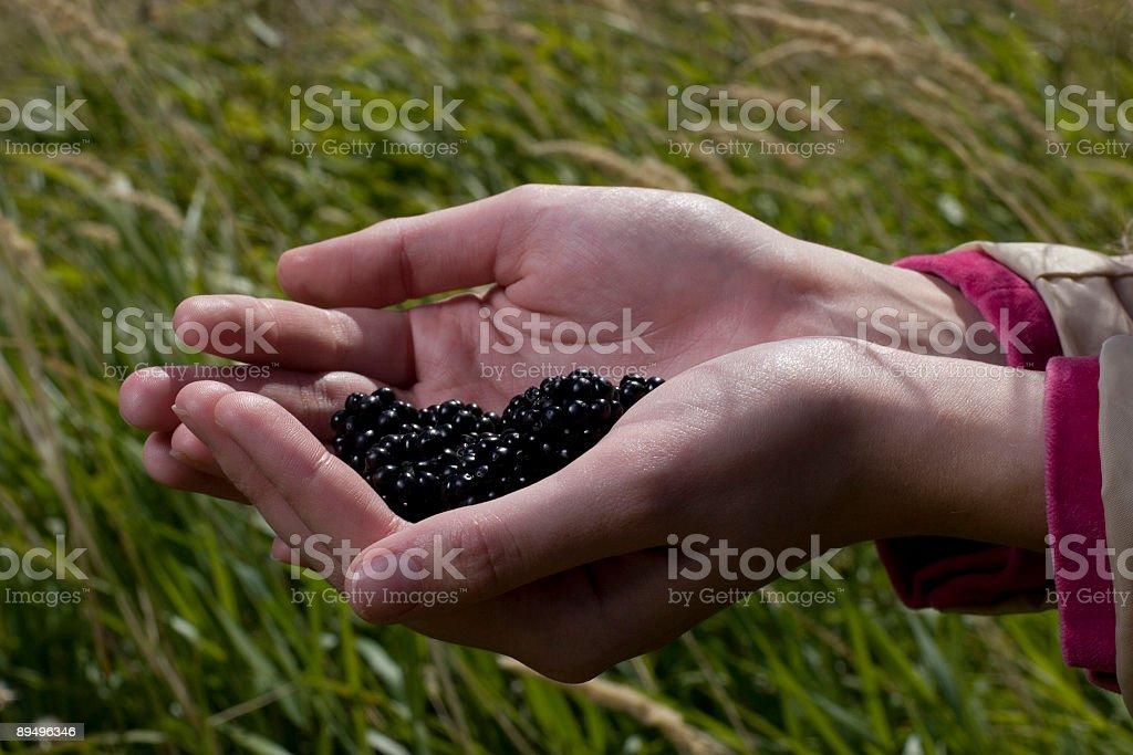 Handful of Blackberries royalty free stockfoto
