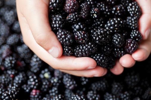 Handful of blackberries with many other blackberries below