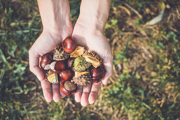 Handful of chestnuts Woman holding a handful of chestnuts foraging stock pictures, royalty-free photos & images