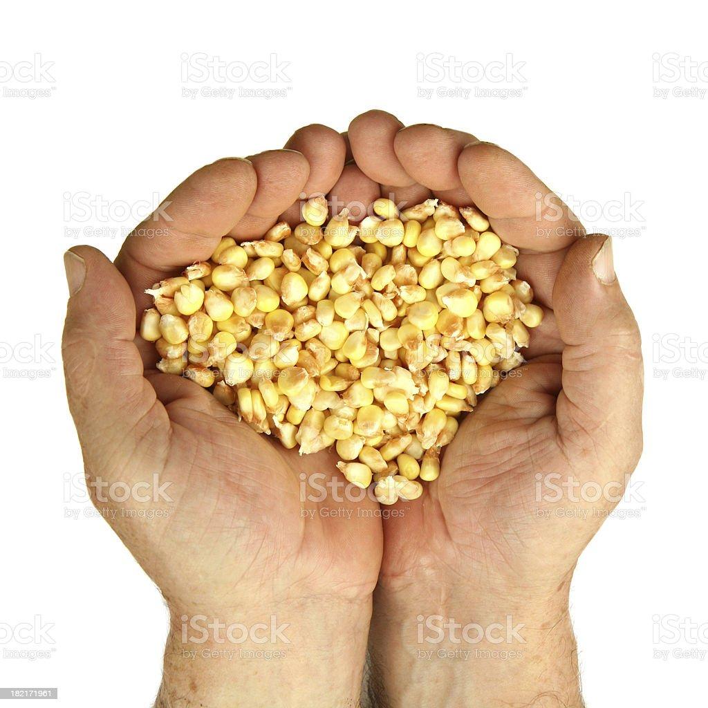 handful of corn royalty-free stock photo