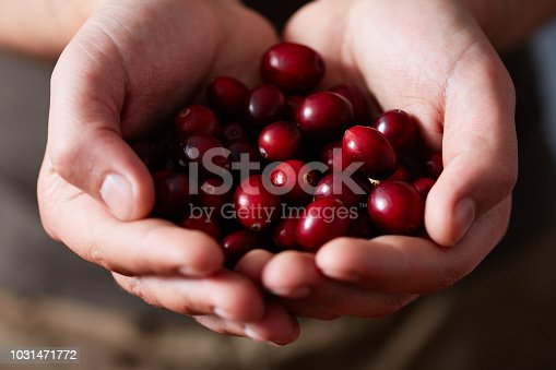 Hands of unrecognizable person holding juicy sweet freshly picked cranberries, extreme close-up view