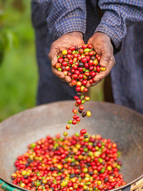 Handful of Fair Trade Coffee in Kenya stock photo