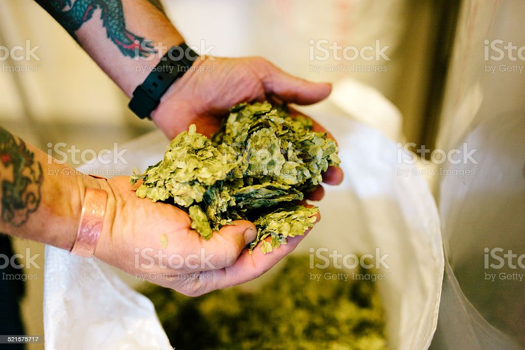 Handful of fresh hops at a traditional Devon brewery stock photo