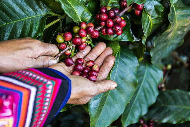 manciata di chicchi di caffè freschi biologici. - coffee farmer foto e immagini stock