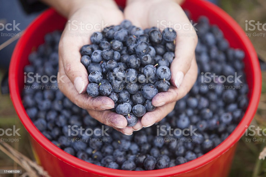 Handful of freshly picked up blueberries royalty-free stock photo