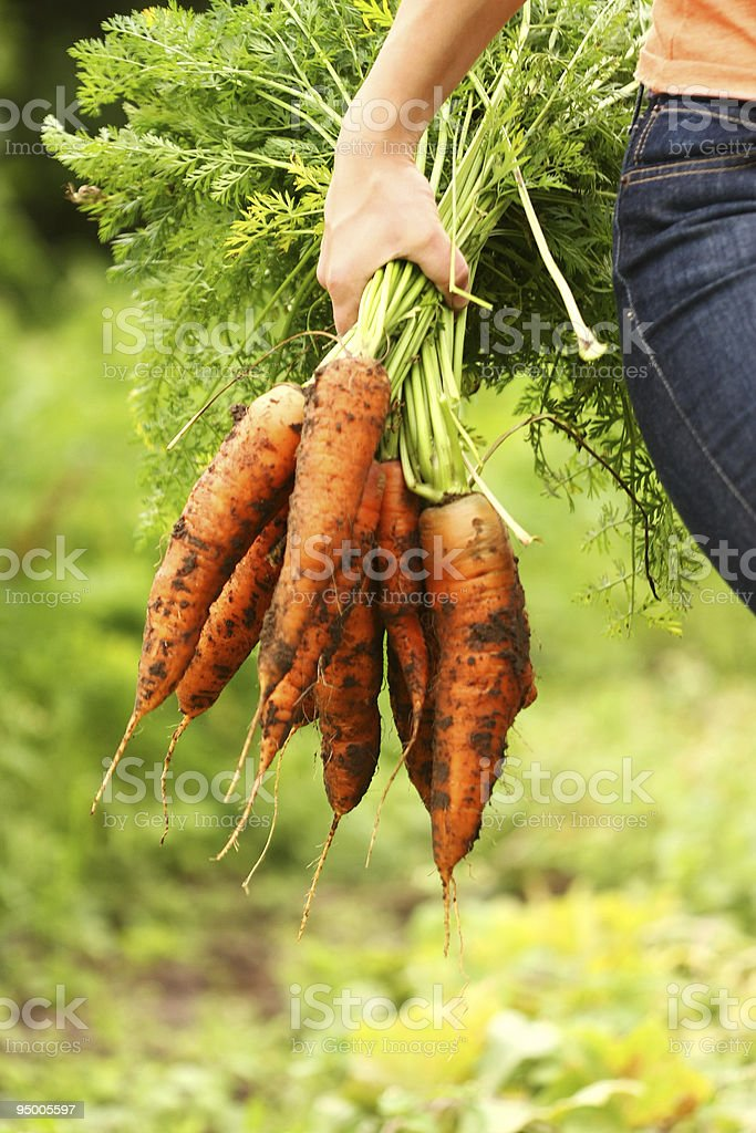 Handful of large orange organic carrots with greens attached royalty-free stock photo