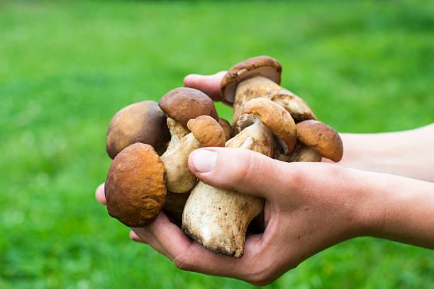 handful of porcini mushrooms - höst plocka svamp bildbanksfoton och bilder