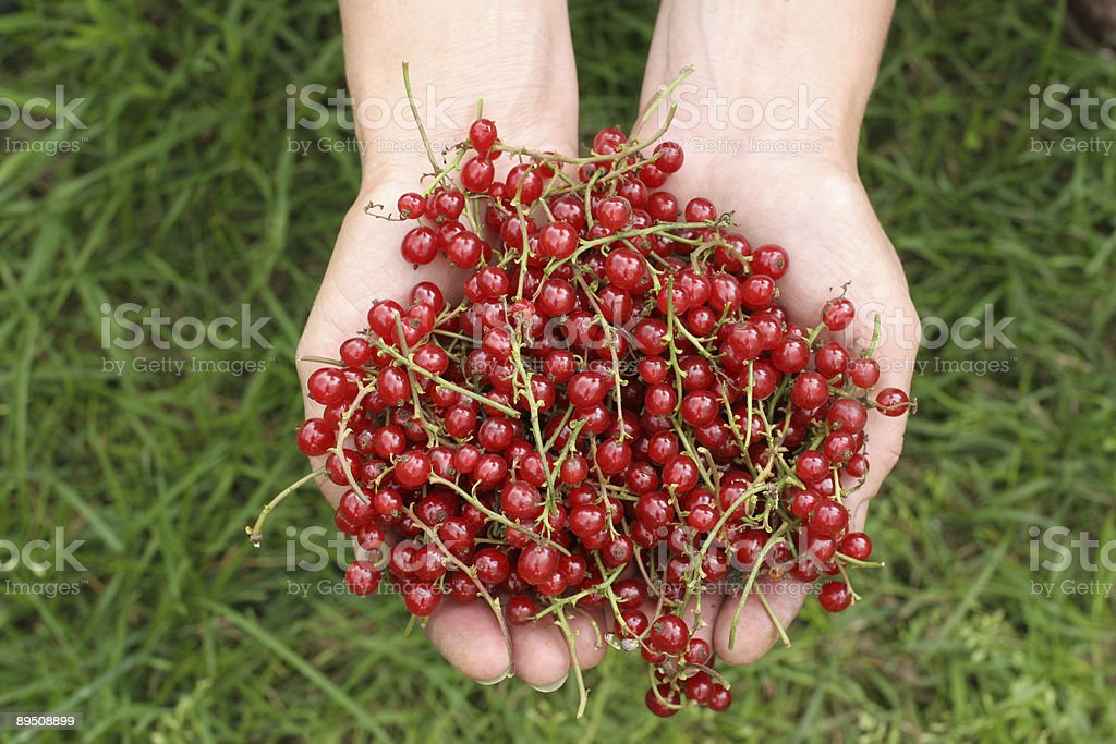 Handful of red currant royalty-free stock photo