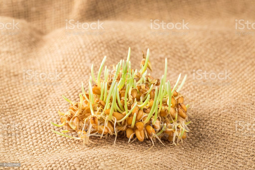 Handful of wheat germs on the burlap background stock photo