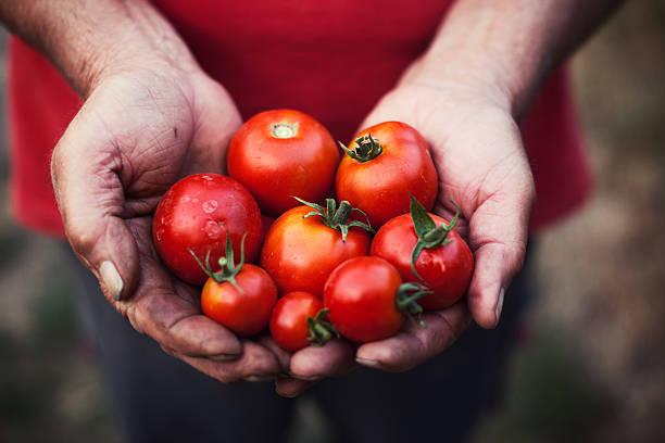 Handful tomatoes stock photo