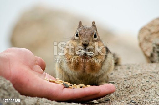 A Hungry Chipmunk is fed sunflower seeds by a willing visitor to the Colorado Rocky Mountains.