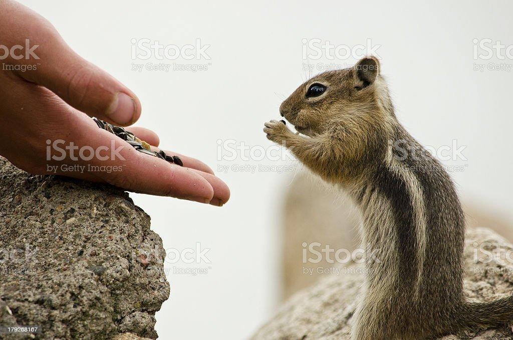 Handfull of Seeds Feeding Hungry Chipmunks royalty-free stock photo