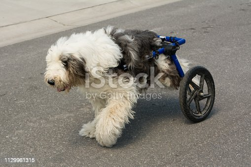 Handicapped Old English Sheepdog with wheel chair