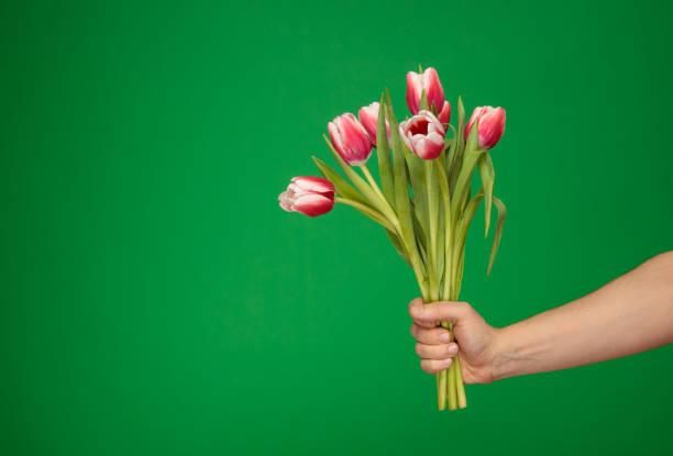 handing white red tulips stock photo