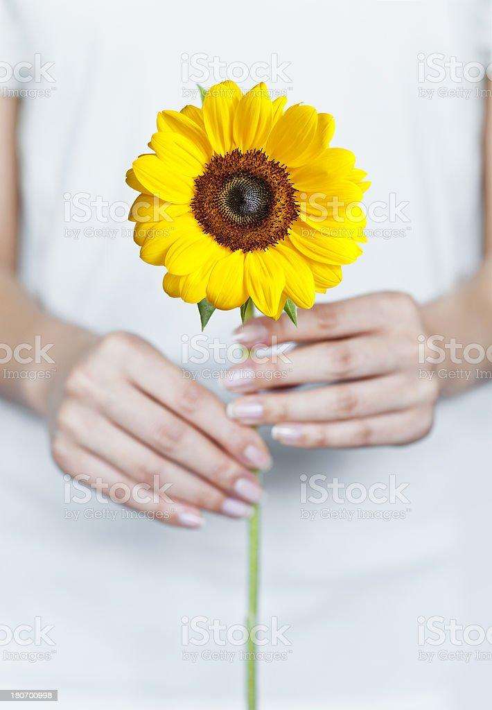 Female hands holding sunflower.